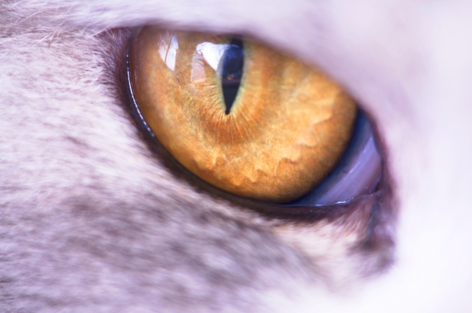 close-up-of-the-yellow-cat-eye
