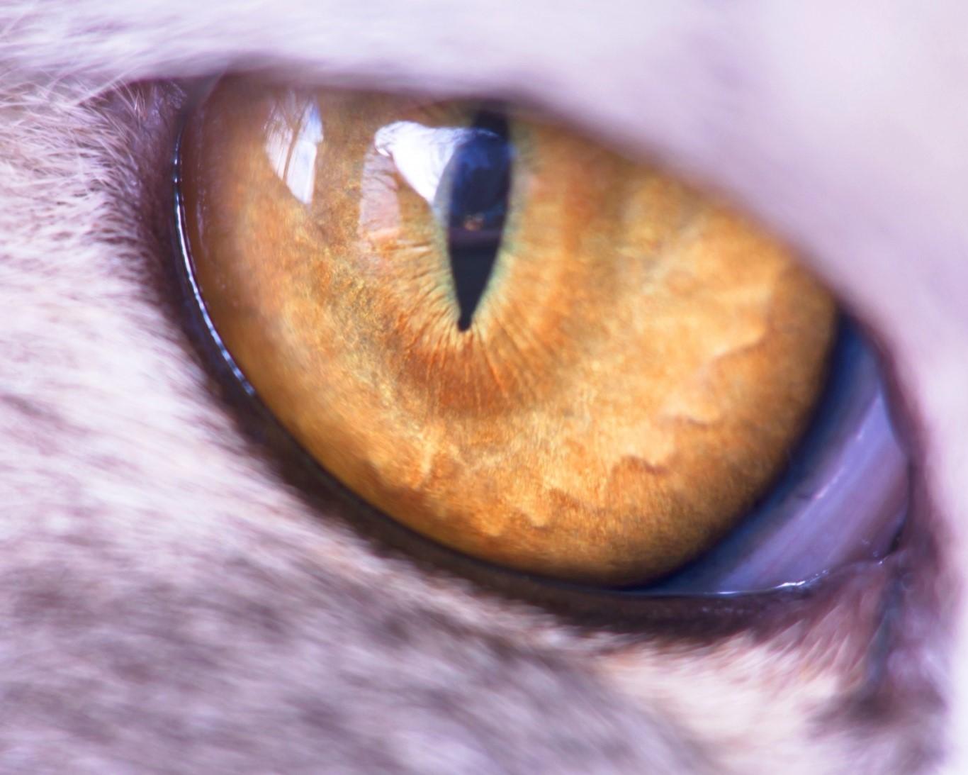 close-up-of-the-yellow-cat-eye.jpg