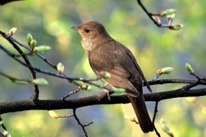 800px-Nightingale_of_ancient_Uglich